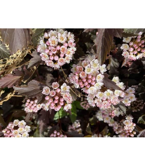 Physocarpus opulifolius 'Summer Wine' Пузыреплодник калинолистный 'Самэр Вайн' пахучие соцветия.