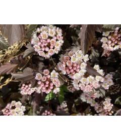 Physocarpus opulifolius 'Summer Wine', Пухироплідник калинолистий 'Самер Вайн пахуче суцвіття