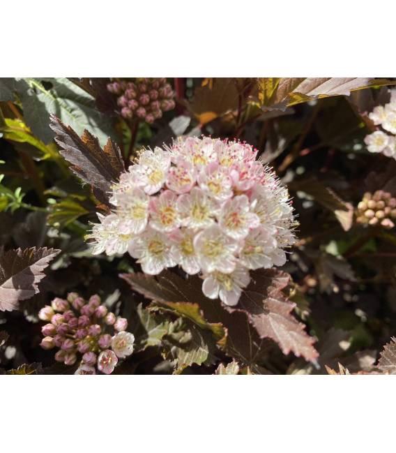 Physocarpus opulifolius 'Summer Wine', Пухироплідник калинолистий 'Самер Вайн суцвіття кущю.
