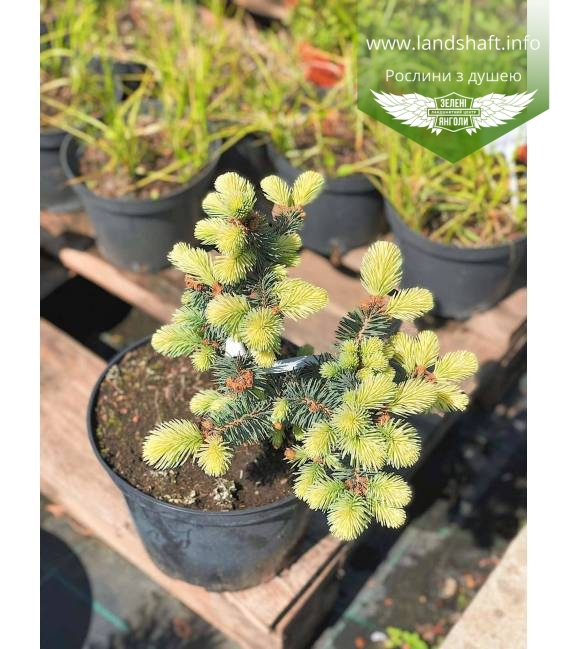 Picea pungens 'Bialobok', Ель голубая 'Белобок' в горшке С5