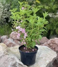 Weigela florida Вейгела цветущая розовая в контейнере 5л