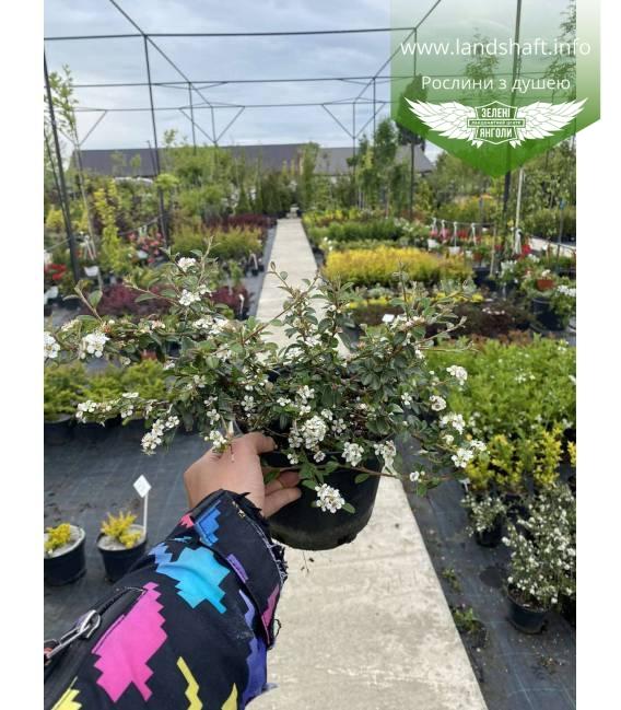 Cotoneaster perpusillus, Кизильник горизонтальний крихітний в горщику с2
