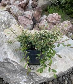 Cotoneaster salicifolius 'Parkteppich', Кизильник верболистий 'Парктеппіх' в горщику с5