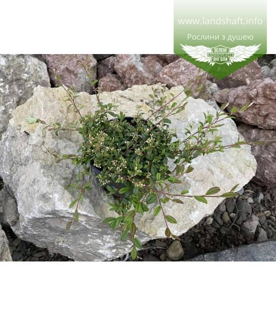 Cotoneaster salicifolius 'Parkteppich', Кизильник верболистий 'Парктеппіх' в контейнері 5л