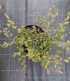 Cotoneaster salicifolius 'Parkteppich', Кизильник верболистий 'Парктеппіх' з росадника