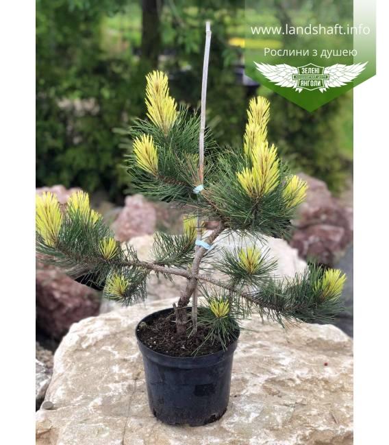 Pinus nigra 'Aurea', Сосна чорна 'Ауреа' купити з доставкою по Україні