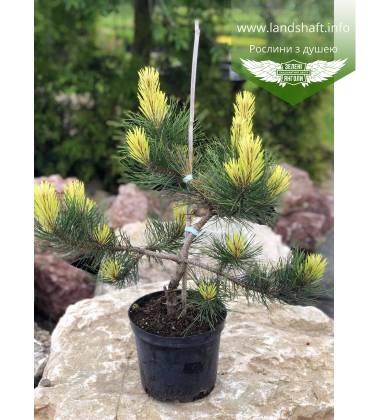 Pinus nigra 'Aurea', Сосна черная 'Ауреа' купить с доставкой по Украине