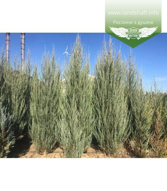 Juniperus scopulorum 'Skyrocket', Ялівець скельний 'Скайрокет'