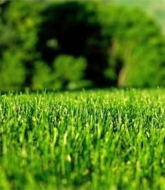 Трава газонна Карликова (НАСІННЯ)