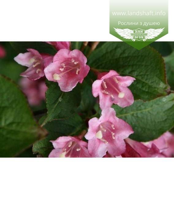Weigela praecox 'Bouquet Rose' Вейгела ранняя 'Букет Роз'