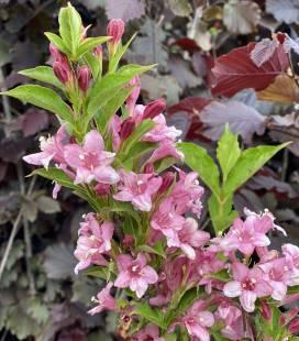 Weigela praecox 'Bouquet Rose', Вейгела ранняя 'Букет Роз'
