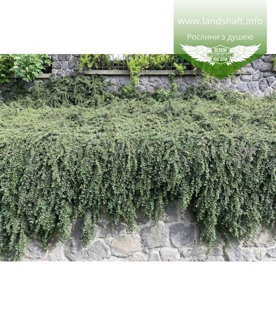 Кизильник Даммера озеленення опорних стін