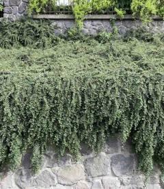 Кизильник Даммера озеленение опорных стен