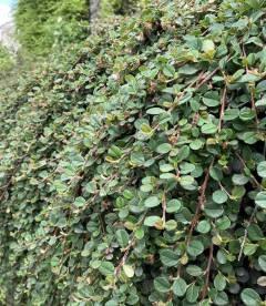 Кизильник Даммера зелений килим