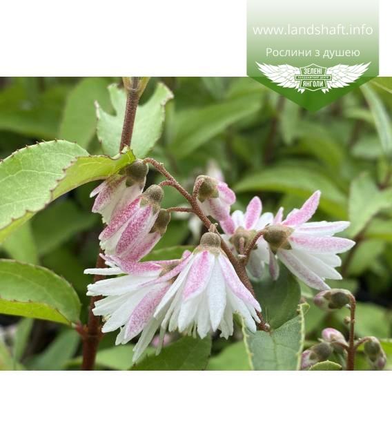 Дейція шорстка 'Кодсал Пінк' махрові рожеві квіти