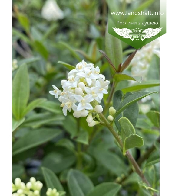 Бюрючина звичайна 'Атровіренс' цвіт