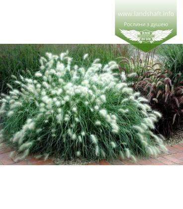 Pennisetum villosum, Пеннисетум мохнатый