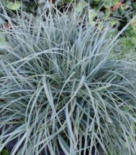 Carex panicea 'Pamira', Оссока просяная 'Памира'