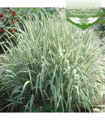 Phalaris arundinacea 'Picta', Канаркова трава очеретяна 'Пікта'