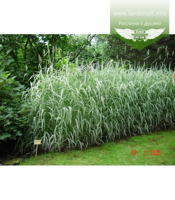 Phalaris arundinacea 'Picta', Канареечник тростниковый 'Пикта'
