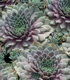 Sempervivum 'BigSam Purple Quartz', Молодило 'БігСем Пьорпл Кварц'