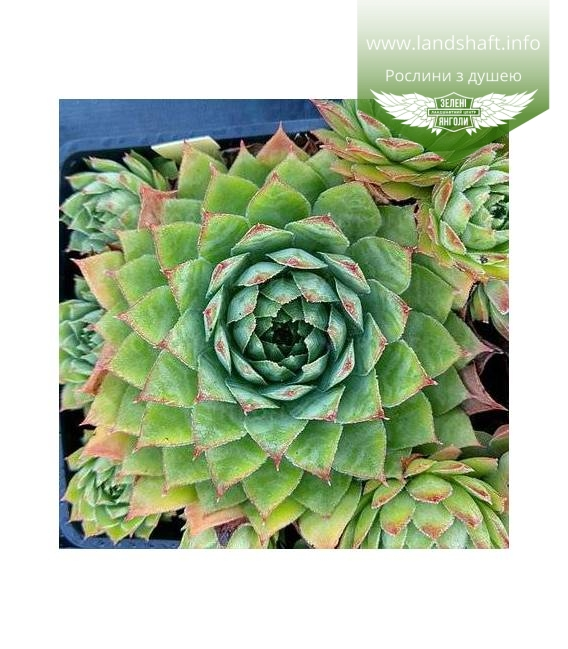 Sempervivum 'BigSam Chrome Green', Молодило 'БігСем Кром Грін'