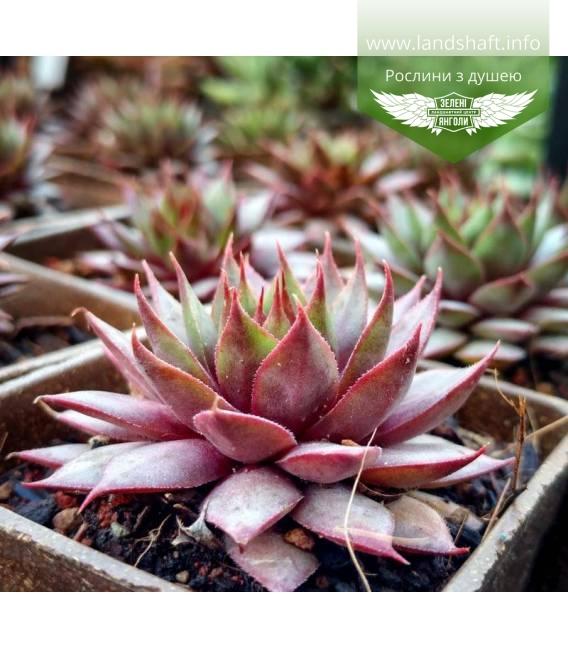Sempervivum 'Red Beauty', Молодило 'Ред Бьюті'