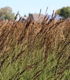 Molinia caerulea 'Heidezwerg', Молінія голуба 'Хейдецверг'