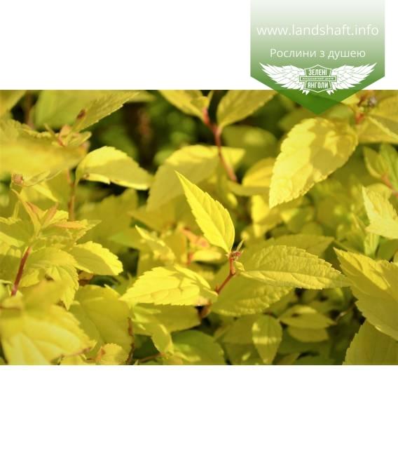 Spiraea japonica 'Goldmound', Спірея японська 'Голдмаунд'
