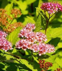 Spiraea japonica 'Goldmound' Спирея японская