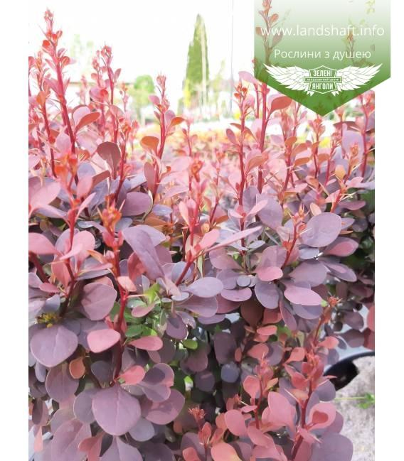 Барбарис Тунберга 'Хот Чоклет' в горшке 2 л - купить в питомнике растений с доставкой по Украине