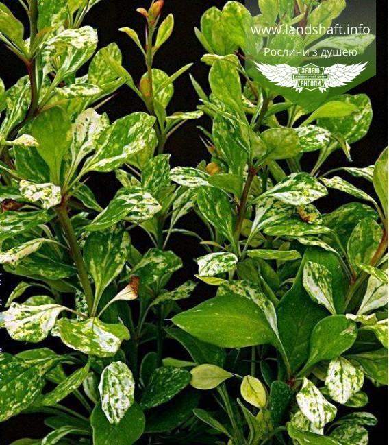 Барбарис Тунберга Поввов (Паувау) -в горшке купить в питомнике растений с доставкой по Украине