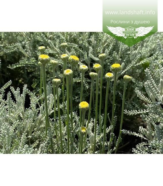 Santolina chamaecyparissus, Сантоліна кипарисовидна