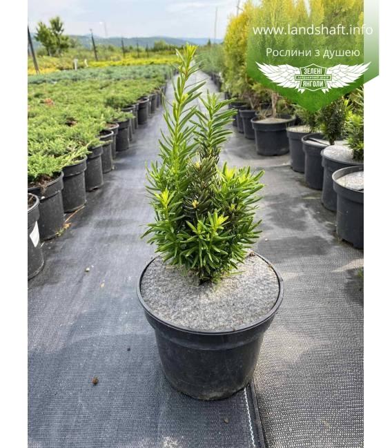 Taxus x media 'Hicksii', Тис середній 'Хіксі'