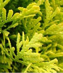 Thuja occidentalis 'Golden Smaragd' Туя западная Голден Смарагд в ландшафтном дизайне