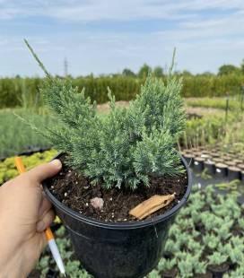 Juniperus horizontalis 'Blue Forest' Можжевельник горизонтальный