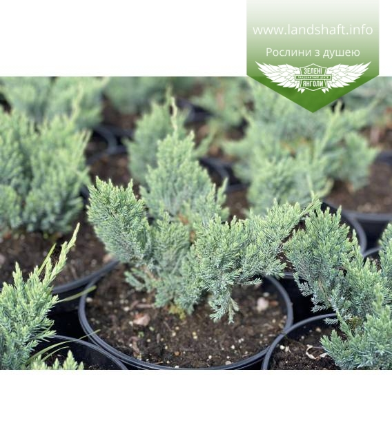Juniperus horizontalis 'Blue Forest', Ялівець повзучий 'Блу Форест'