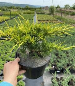 Juniperus x media 'Gold Coast', Ялівець середній 'Голд Кост'
