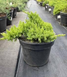 Juniperus procumbens 'Nana', Можжевельник лежачий 'Nana'