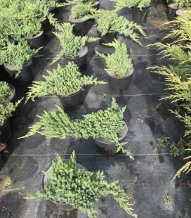 Juniperus procumbens 'Nana' Можжевельник лежачий