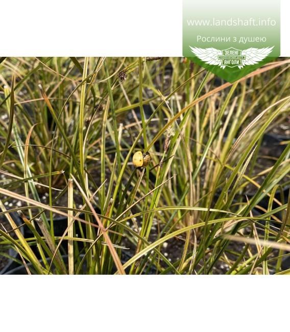 Carex calotides, Осока калотідес