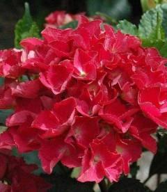 Hydrangea macrophylla 'Red Beauty', Гортензія крупнолиста 'Ред Бюті'