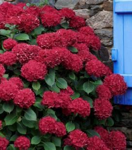 Hydrangea macrophylla 'Red Beauty', Гортензия крупнолистная 'Ред Бьюти'