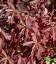 Cornus alba 'Regnzam/Red Gnome', Дерен білий 'Регнзам/Ред Гноум'