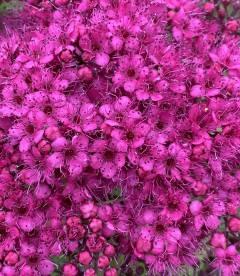 Spiraea japonica 'Anthony Waterer', Спірея японська 'Антоні Ватерер'