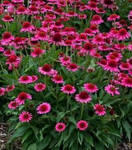 Echinacea 'Delicious Candy', Ехінацея 'Делішез Кенді'