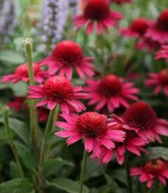 Echinacea 'Delicious Candy', Ехинацея 'Делишез Кенди'