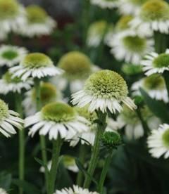 Echinacea 'Delicious Nougat', Ехинацея 'Делишез Нуга'