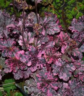 Heuchera 'Midnight Rose Select', Гейхера 'Міднайт Роуз Селект'