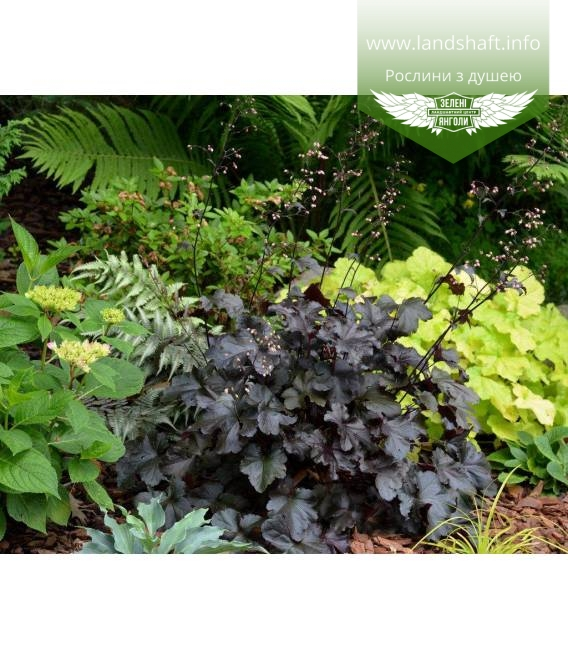 Heuchera hybrida 'Black Pearl', Гейхера гібридна 'Блек Перл'